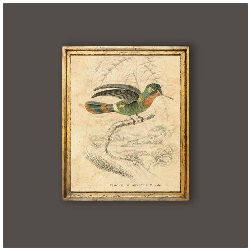Cuadro oro pájaro Trochilus ornatus hembra