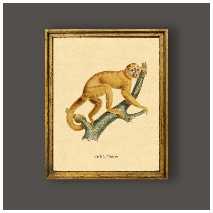 Cuadro mono cebus fulvus
